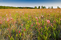 Three-flowered avens in prairie<br /> Birds Hill Provincial Park<br /> Manitoba<br /> Canada