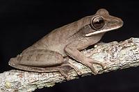 Espécie: Boana lanciformis (Cope, 1871)<br /> Nome - inglês: Basin Treefrog<br /> .<br /> Espécie de perereca de grande porte e com ampla distribuição na bacia amazônica. É uma espécie arborícola e os machos vocalizam a noite sobre a vegetação à beira de corpos d'água, especialmente em áreas alagáveis.<br /> .<br /> .<br /> Imagem feita em 2017 durante expedição científica para a região do Lago Tefé, Tefé, Amazonas, Brasil. A expedição, financiada pelo  Conselho Nacional de Desenvolvimento Científico e Tecnológico, teve o abjetivo de reencontrar espécies de anfíbios descritas pelo explorador Johann Baptist von Spix no ano de 1824.