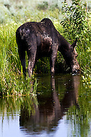 A cow moose casts a reflection in a beaver Pond while munching on moss in Grand Teton National Park