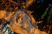 577990001 a wildlife rescue western screech-owl otis kennecottii perches in a cavity in a large tree limb in central colorado