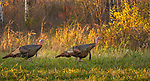 Wild turkeys walking in an autumn field in northern Wisconsin.