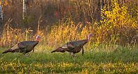 Wild turkeys walking in an autumn field in northern Wisconsin.