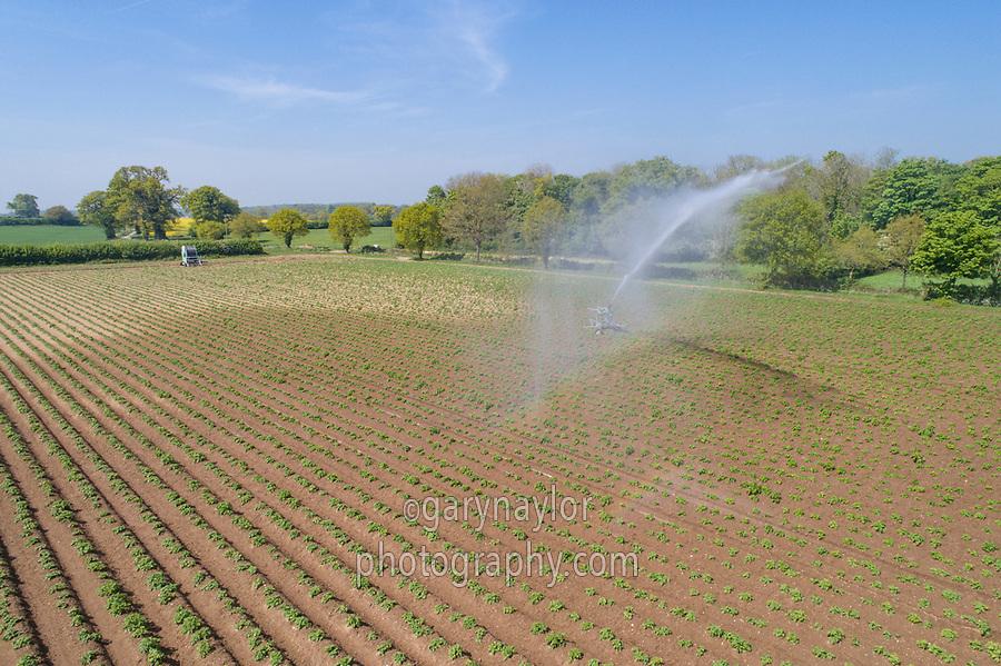 Rain gun irrigating emerging potatoes - Norfolk, May