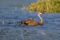 Sandhill crane swimming