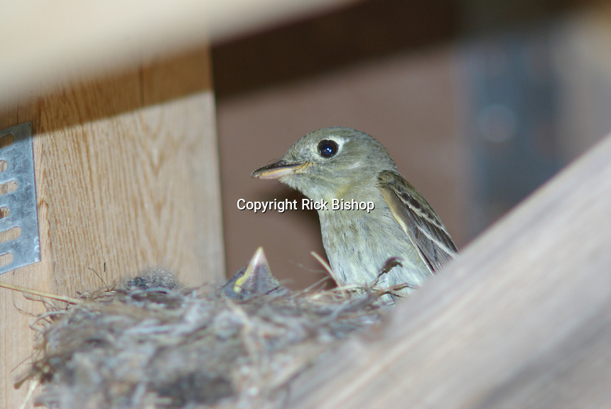 Western Flycatcher at the nest looks at the young in the nest made under a cabin in southern Utah, on a summer day.