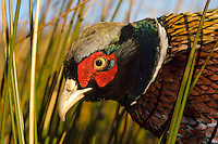 Pheasant looking through reeds,