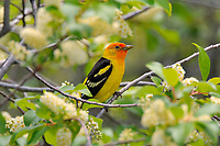 Male Western Tanager (Piranga ludoviciana) in wild chokecherry bush.  Western U.S., summer.