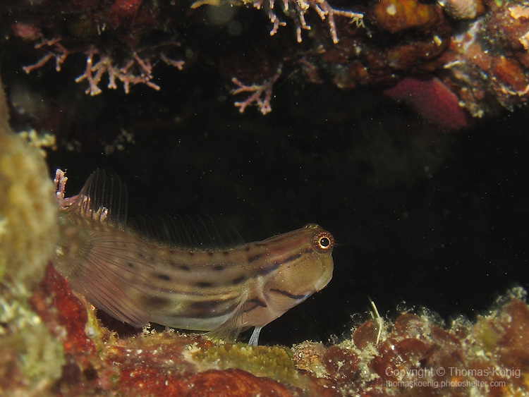 Kenting, Taiwan -- Unidentified blenny.