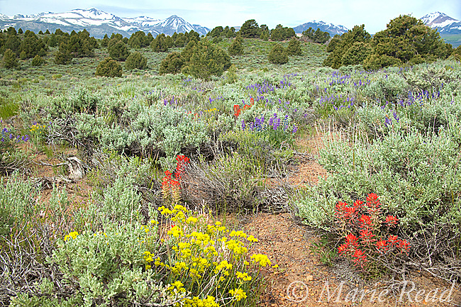 Sagebrush (Artemisia tridentata) scrub habitat with Lupine (Lupinus sp. ), Sulfur Flower (Eriogonum umbellatum, and Indian Paintbrush (Castilleja sp.) in bloom in June, Mono Lake Basin, California, USA