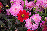 Dahlia 'Dovegrove'  (single) AGM, red flowers with dark black purple foliage, single type amid full flowers in pink