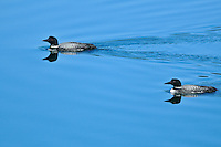 Common loon in wetland<br /> near Yukon Border on Cassiar Highway<br /> British Columbia<br /> Canada