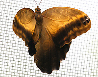 Caligo bellerophon