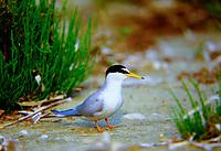 Zwergseeschwalbe, Zwerg-Seeschwalbe, Seeschwalbe, Seeschwalben, Sterna albifrons, little tern
