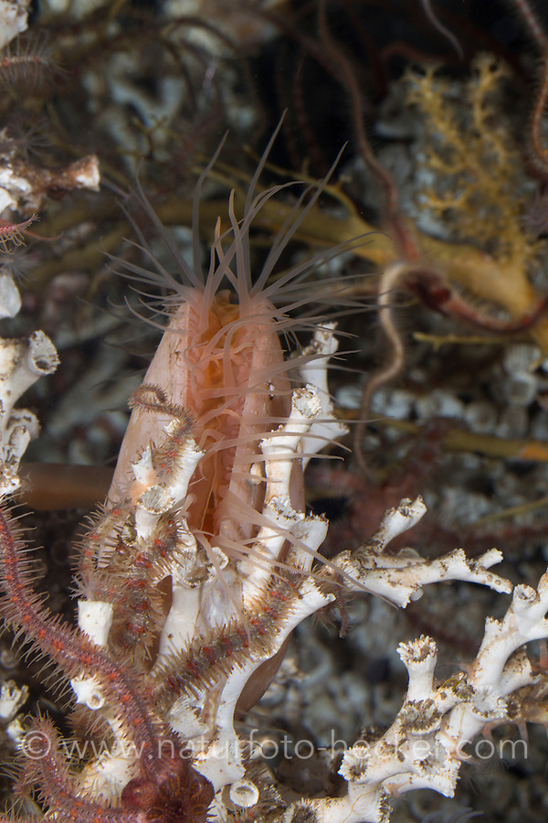 Große Feilenmuschel, Acesta excavata, Lima excavata, Ostrea excavata, European Giant File Clam, large clam, Feilenmuscheln, Limidae