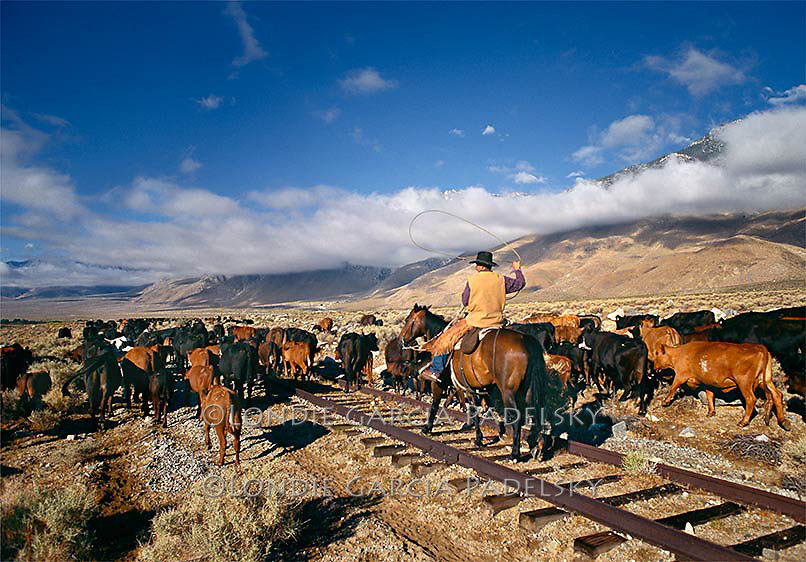 Cowboy herding cattle over old train tracks on the way to summer pasture. Owens Valley, California