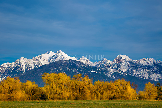 Springtime in the Rockies. Yellow branches of willow trees in front of the Mission Mountains in western Montana near Missoula.