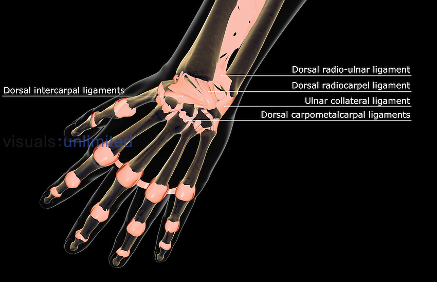 The Ligaments Of The Hand Visuals Unlimited