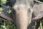 Portrait of elephant carrying tree branches and leaves for food, Elephas maximus, Corbett National Park, Uttarakhand, Northern India, face.India....