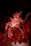 Soft Coral Crab, Hoplophrys oatesii, Lembeh Strait, Manado, North Sulawesi, Indonesia, Pacific Ocean