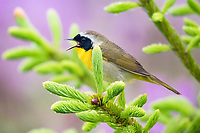 common yellowthroat, Geothlypis trichas, male, perched singing on evergreen with backdrop of pinkish-purple rhodora flowers, Rhododendron canadense, Nova Scotia, Canada