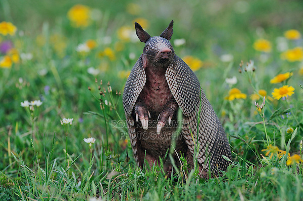 Nine-banded Armadillo (Dasypus novemcinctus), adult standing up smelling, Refugio, Coastel Bend, Texas, USA