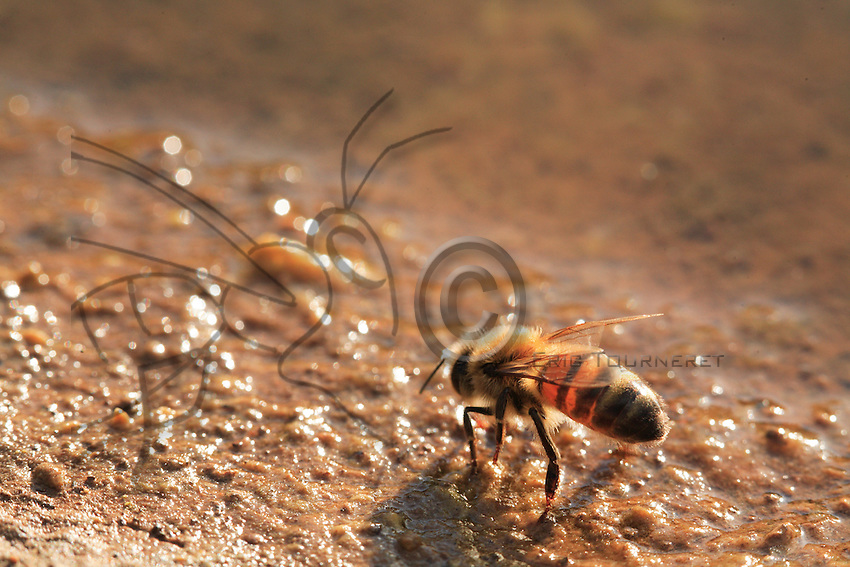 A bee is drinking water.
