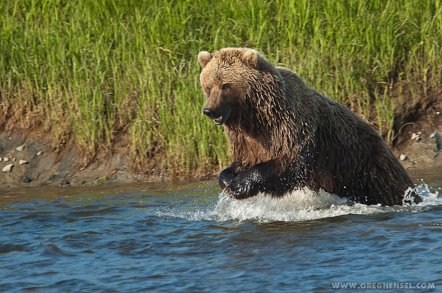A Bear Brown prounces through the water at Mikfik Creek in pursuit of Salmon. Summer at McNeil River Bear Sanctuary in Southwest Alaska.