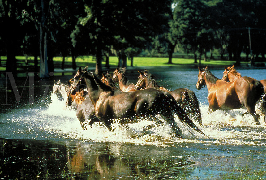 Thoroughbred mares running in pond towards pasture with trees. Action, beauty, power, herd. horse, horses, animals. Florida.