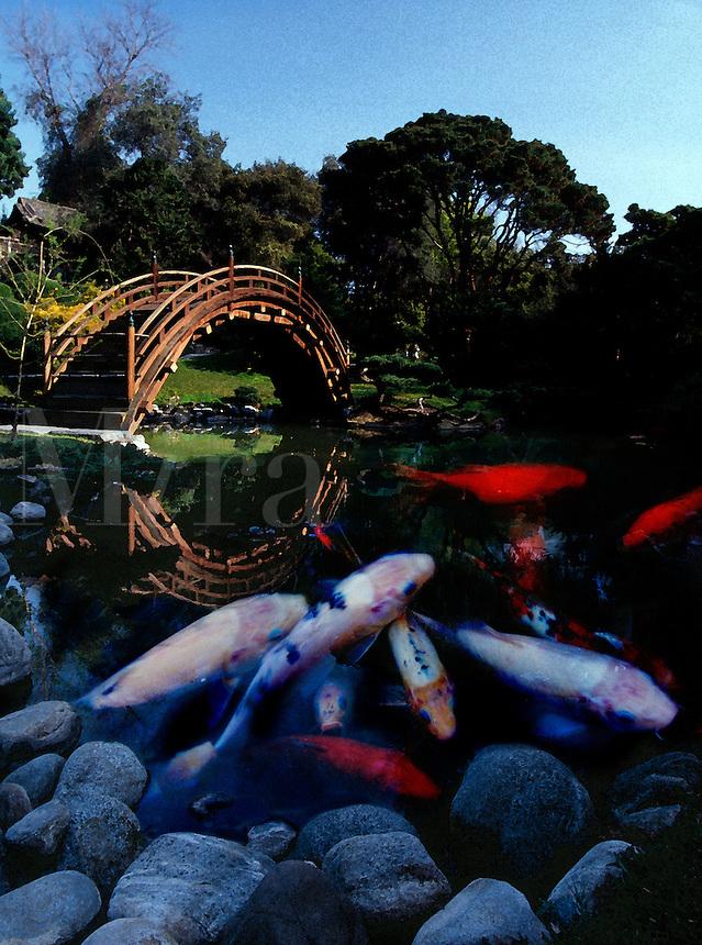 Collage of Koi in a Japanese-style garden pond. Pasadena, California.