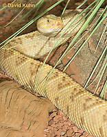 0511-1103  Neotropical Rattlesnake (South American Rattlesnake), Crotalus durissimus  © David Kuhn/Dwight Kuhn Photography