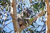 Koala, Nelson Bay, Australia