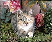 Interlitho, ANIMALS, cats, photos+++++,light roses,cat,KL16376,#a# Katzen, gatos