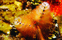 MARINE LIFE: REEFS<br /> Christmas tree worm; Close-up<br /> Christmas tree worms are are small, tube-building polychaete worms. Themulticolored spirals are the worm's respiratory structures.