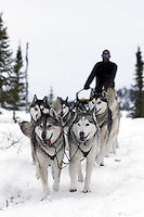Mike Ellis and his Siberian Husky team run down the trail into the halfway checkpoint of Iditarod on Friday March 8, 2013...Iditarod Sled Dog Race 2013..Photo by Jeff Schultz copyright 2013 DO NOT REPRODUCE WITHOUT PERMISSION