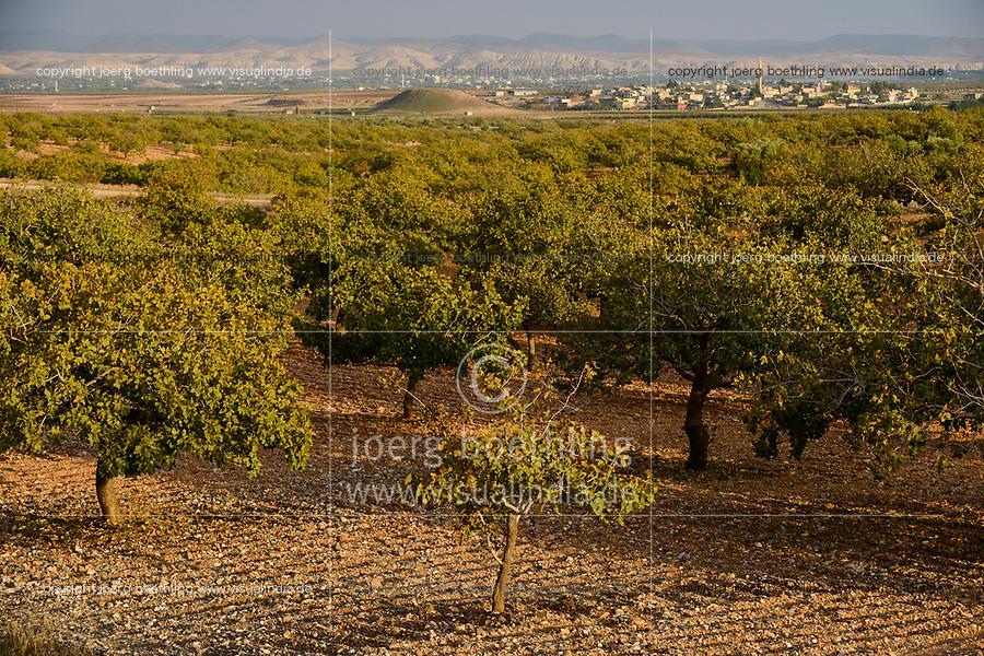 TURKEY, Nizip, pistachio trees / TUERKEI, Nizip, Anbau Pistazien, Pistazien Baeume