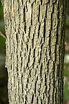 Bark of White Ash tree,  Fraxinus americana