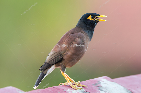 Common Myna (Acridotheres tristis) perched in on a rooftop. (Siem Reap, Cambodia)