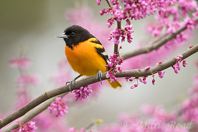 Baltimore Oriole (Icterus galbula) male in breeding plumage, perched in flowering eastern redbud in spring, New York, USA