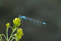 320140004 a wild alkali bluet enallagma clausum perches on a flowr stalk at river springs mono county california