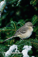 01395-02014 Northern Mockingbird (Mimus polyglottos) in fir tree in winter Marion Co.  IL