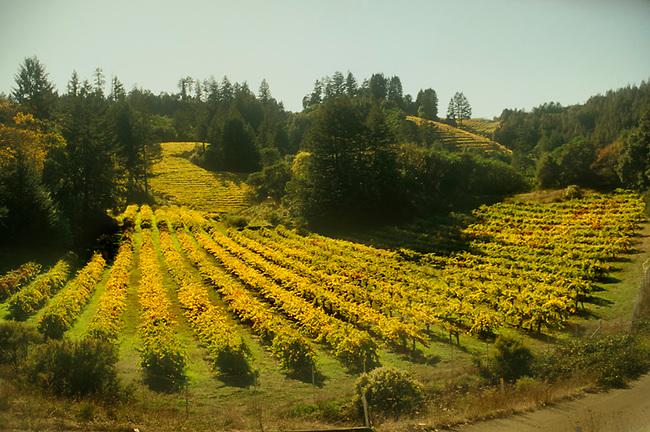 Vineyard near Calistoga