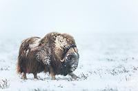 Bull muskox on the snowy tundra of the Arctic coastal plain, Alaska.