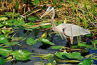 Great Blue Heron feeding in Taylor Slough area of marsh. Florida, Everglades National Park.