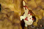 Juvenile warty or clown frogfish (Antennarius maculatus) on a sponge.