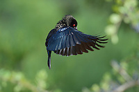 Bronzed Cowbird (Molothrus aeneus), male displaying in flight, Rio Grande Valley, South Texas, Texas, USA