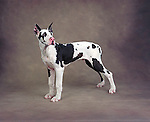 harlequin great dane<br />