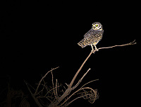 Burrowing owls were a common sight in Emas National Park, even during night drives.