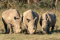 Three white rhinoceroses (Ceratotherium simum) feeding, Lake Nakuru National Park, Kenya, Africa
