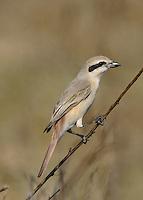 Isabelline Shrike - Lanius isabellinus