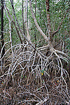 A tangled mass of prop roots and pneumatophores in the mangrove forest.